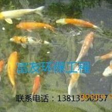 全国锦鲤如何清除养鱼池中的绿藻