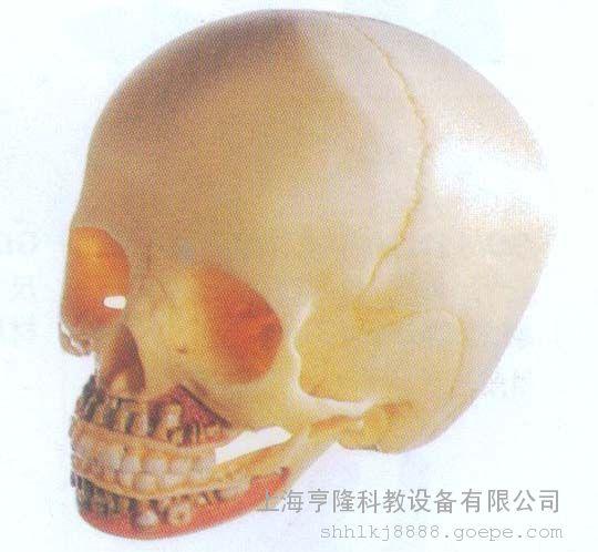 教学模型 儿童头颅骨解剖模型图片 高清大图 谷瀑环保