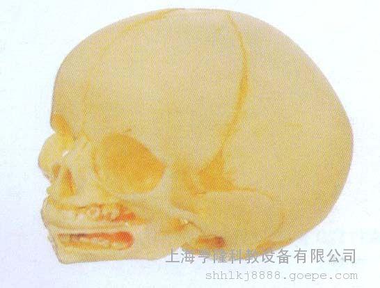 高级婴儿头颅骨模型 婴儿头颅骨解剖模型