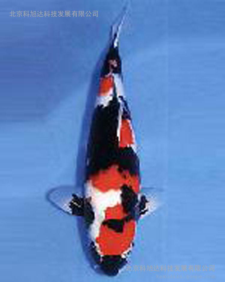 鱼池过滤器制作——锦鲤的疾病治疗法