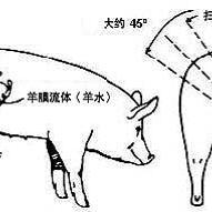 猪用B超测孕仪怎样使用