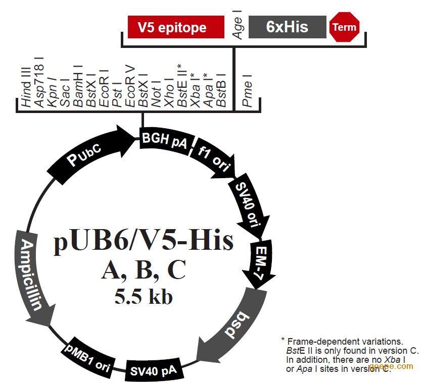 pub6/v5 his lacz 哺乳动物细胞表达载体 真核表达载体
